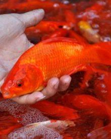 Cách lựa chọn cá chép trong ngày lễ cúng ông Công ông Táo 23 tháng Chạp